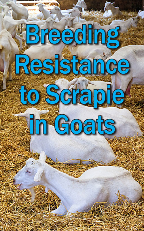 Resistance to Scrapie in Goats
