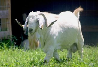 Breed Profile: Savanna Goat