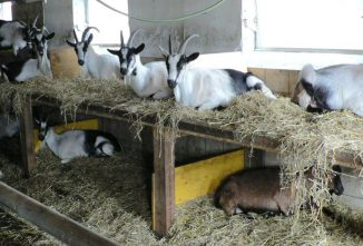 How to House Goats Harmoniously