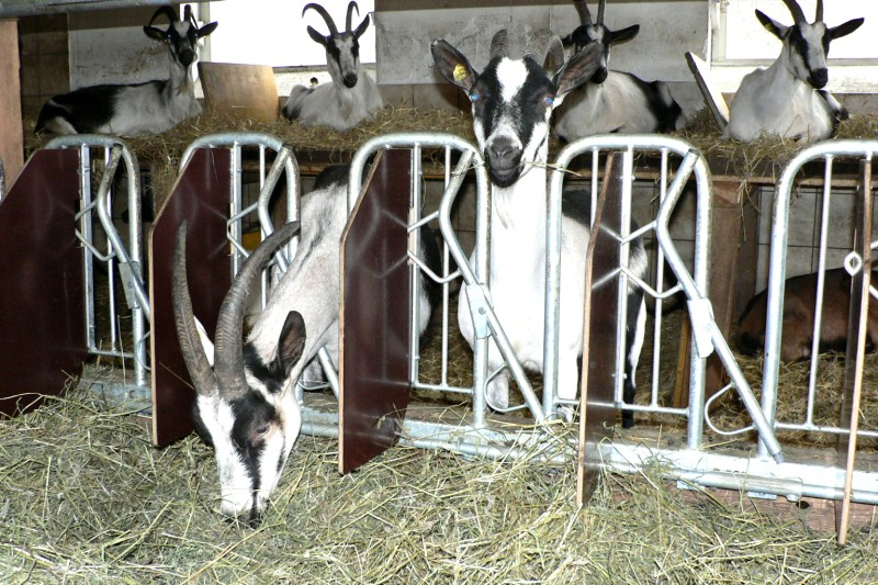 how-to-house-goats