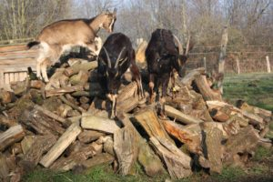 goats-are-smart-need-cognitive-exercise