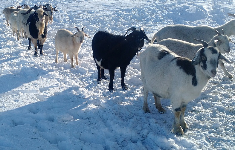 Deep Freeze! How to Keep Goats Warm in Cold Weather