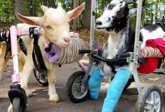Goats of Anarchy – Rescue With a Side of Cute