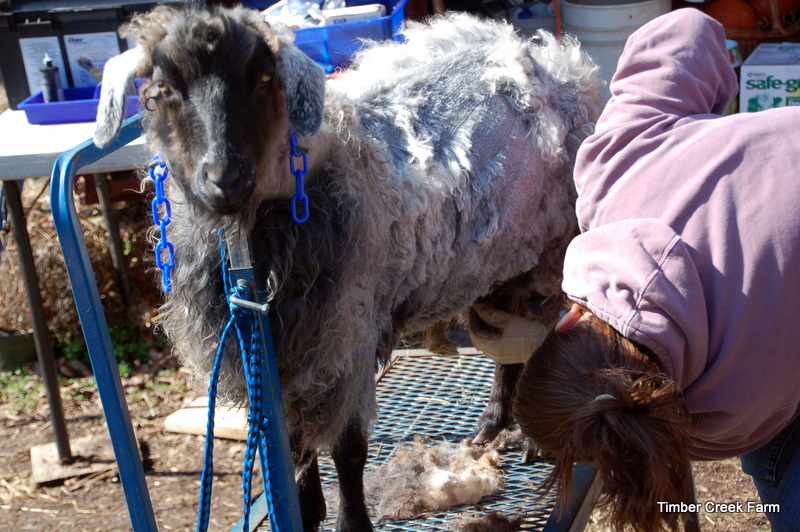 Shearing the Pygora Goat for Mohair Fiber Collection ...