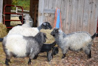 Caring for Angora Goat Fiber During Winter