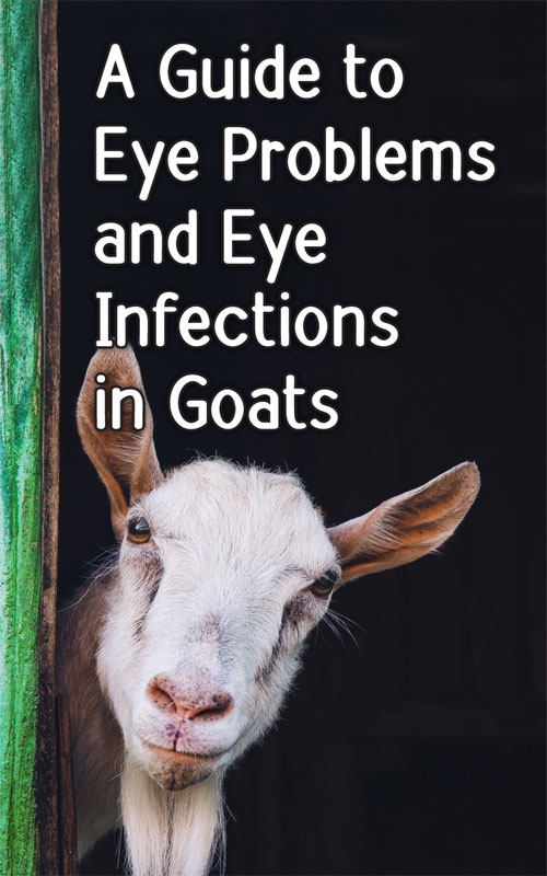 Goat Eye Problems
