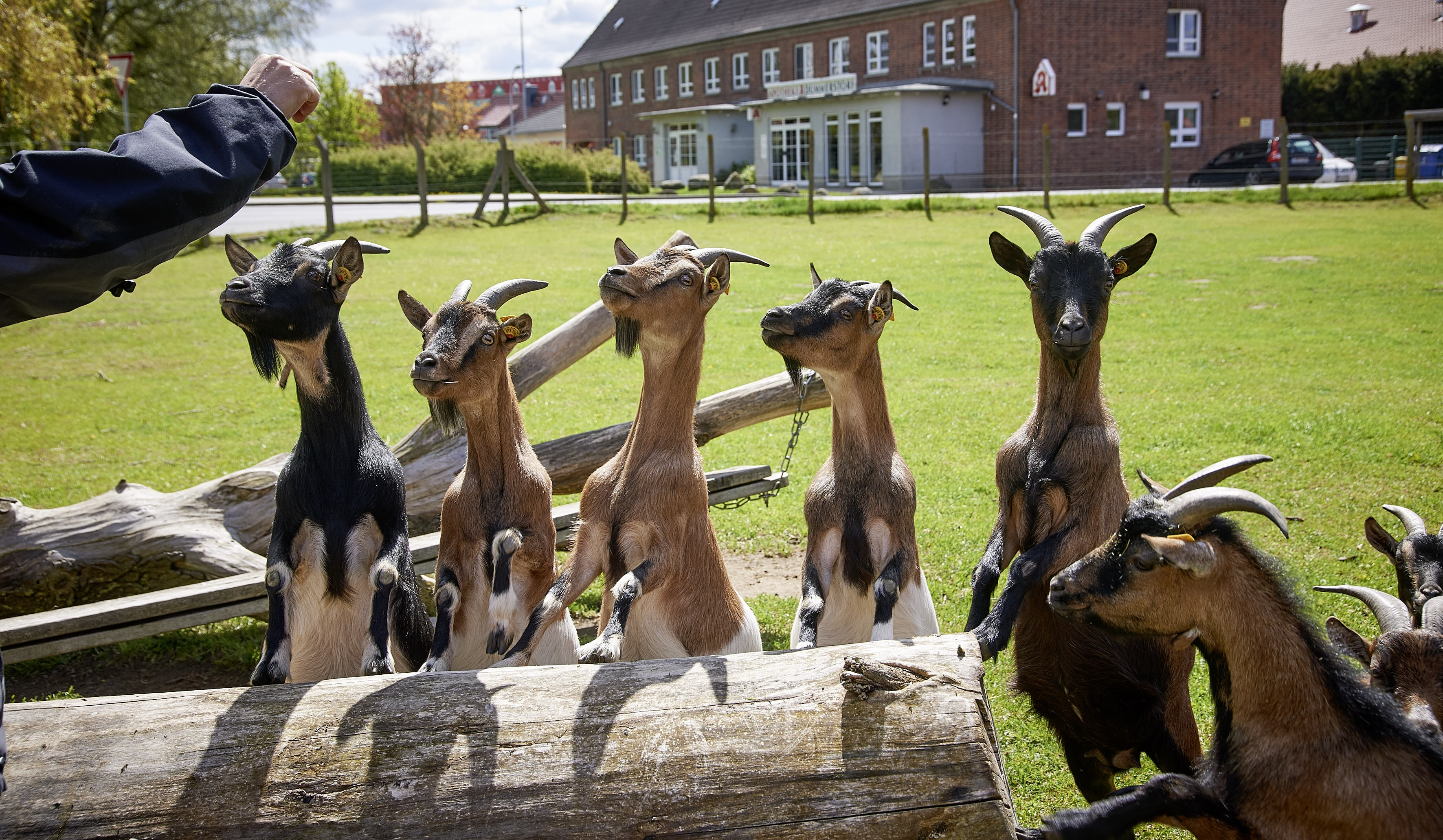 Are Goats Smart? Reading Goats' Minds