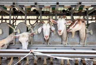 Starting a Dairy Goat Farming Business Plan