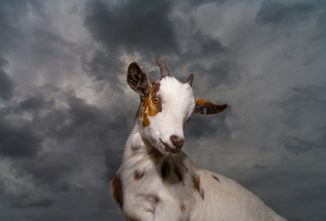Goat Illnesses from Floods, Fires, and Evacuations