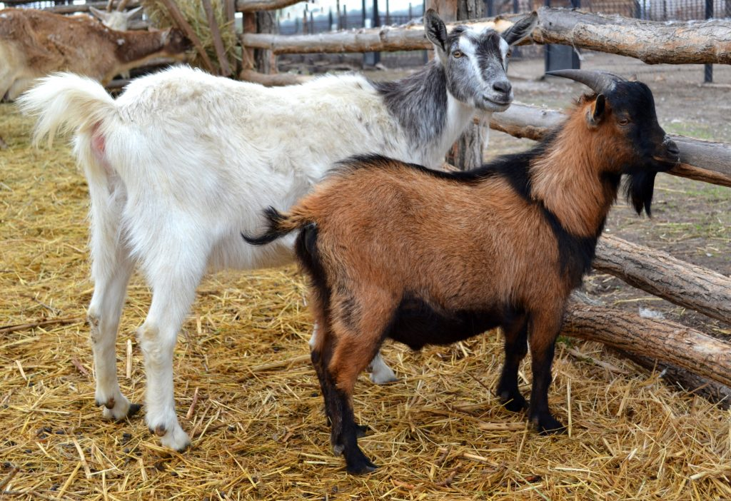 What to Know Before You Buy a Goat - Backyard Goats