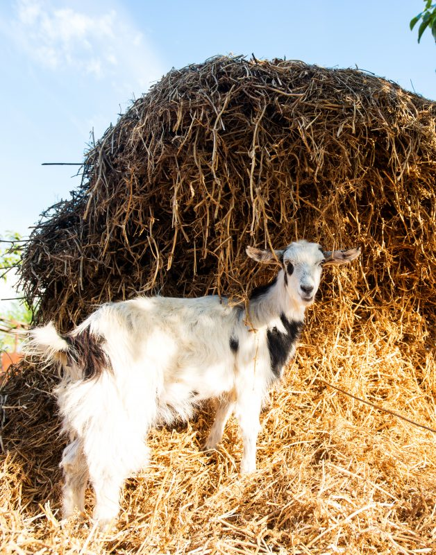 Listeriosis in Goats: Dangers of Feeding Moldy Hay