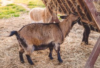 Are You Feeding Straw or Hay for Goats?