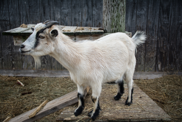 Breath of Life – Looking after Goats' Lungs
