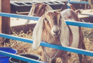 Selecting a Dairy Goat Breed