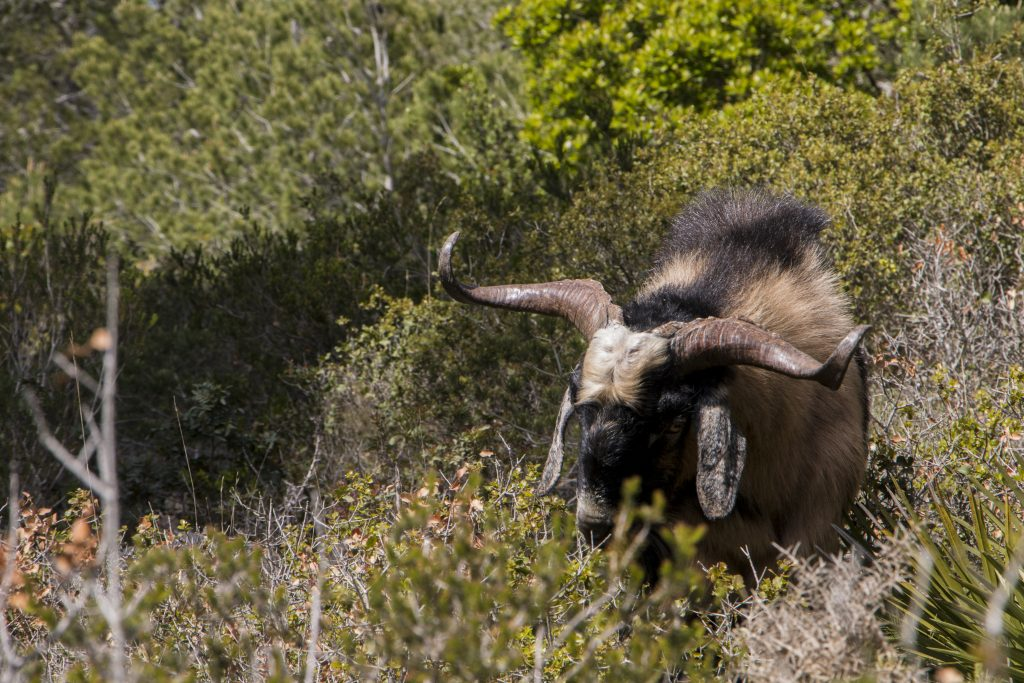 Goat Varieties for Hot Climates - Backyard Goats