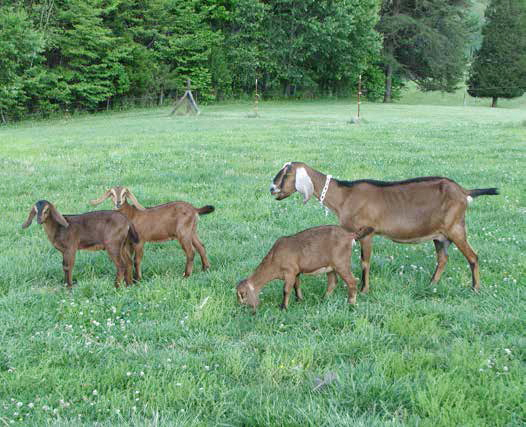 Goats, Sheep And Deer Worm - Backyard Goats