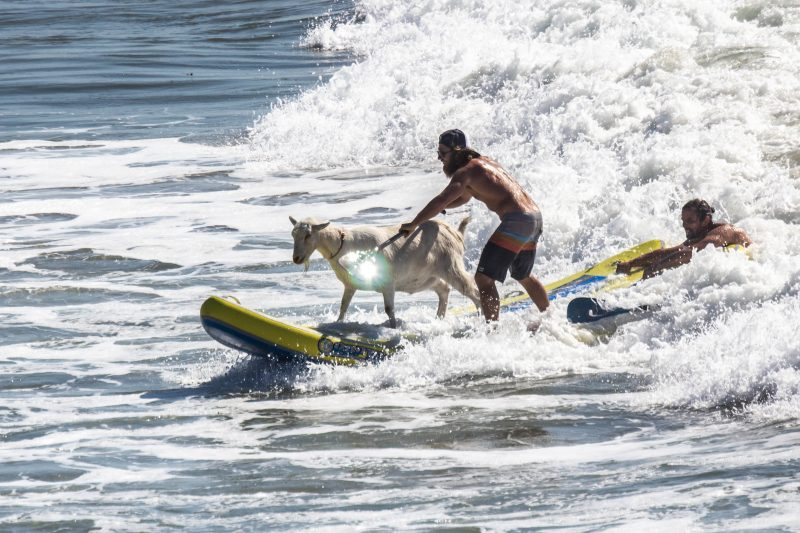 surfing-goats