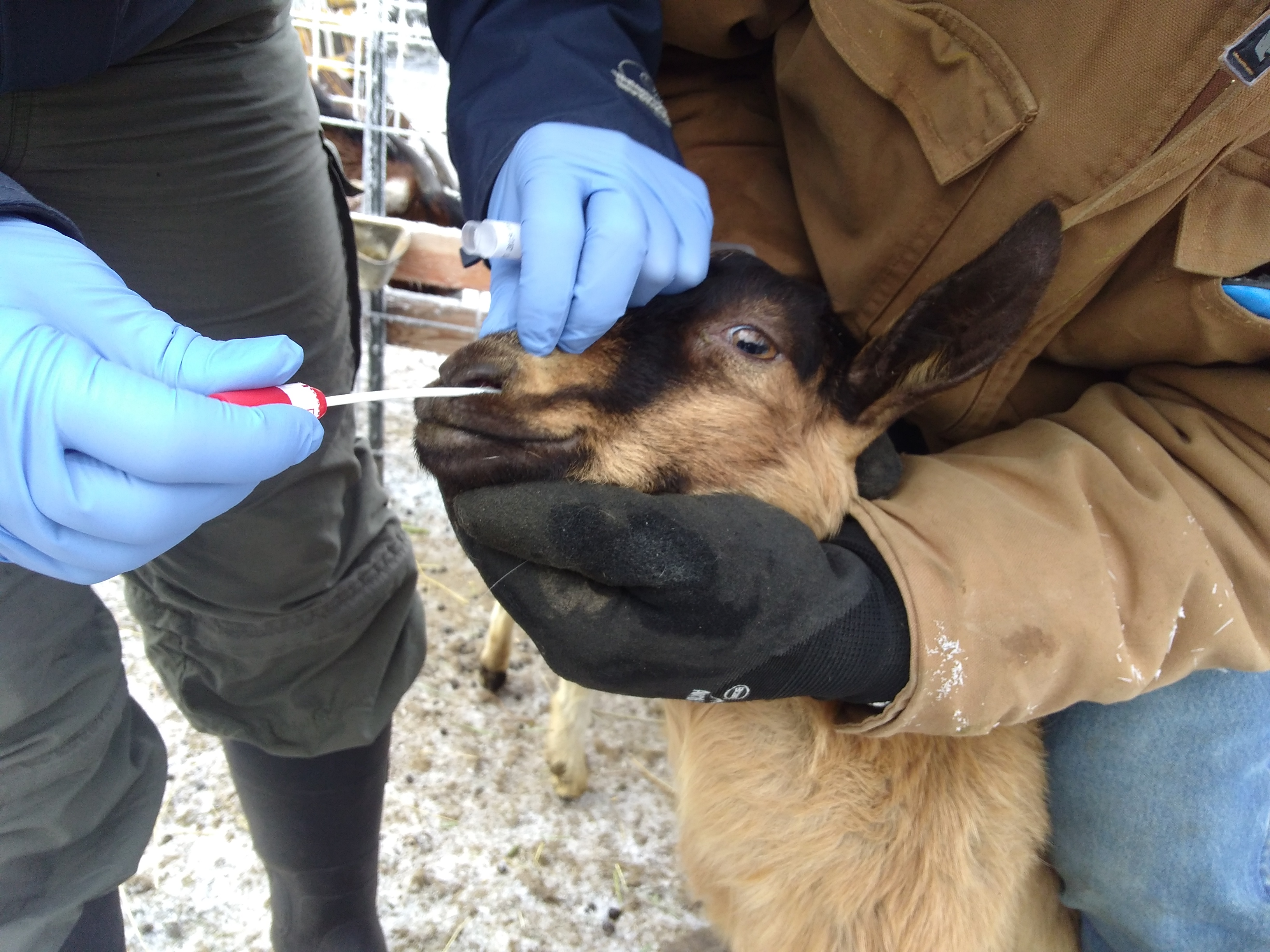 Biosecurity and Goat Husbandry: What You Should Know About M. ovipneumoniae