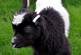 Icelandic Goat: Conservation Through Farming