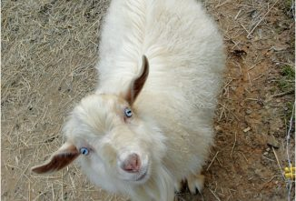 The Cute, Adorable Nigora Goat