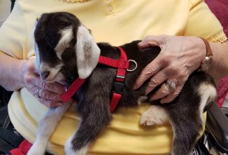 Can My Goat be Part of a Pet Therapy Program?