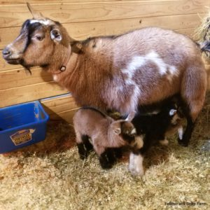 goat-gestation
