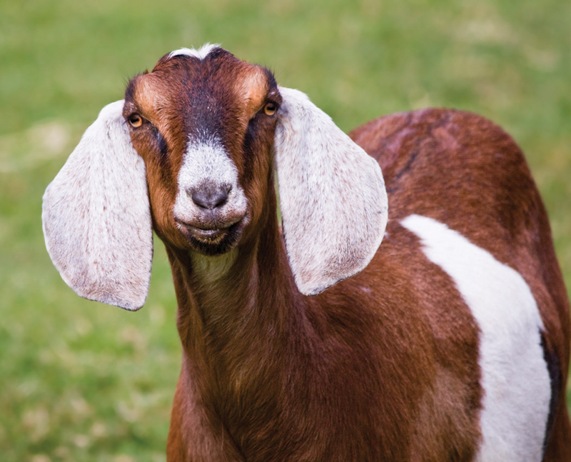 Tips for New Dairy Goat Buyers