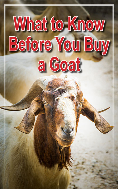 Before You Buy a Goat