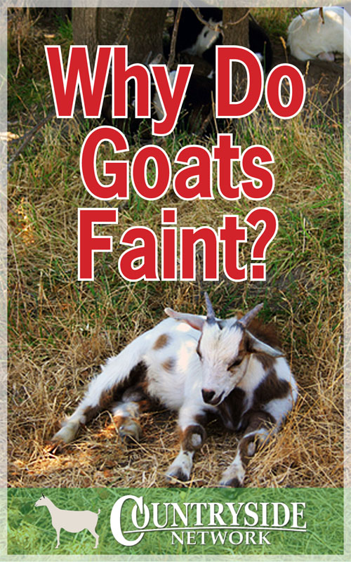 Why Goats Faint