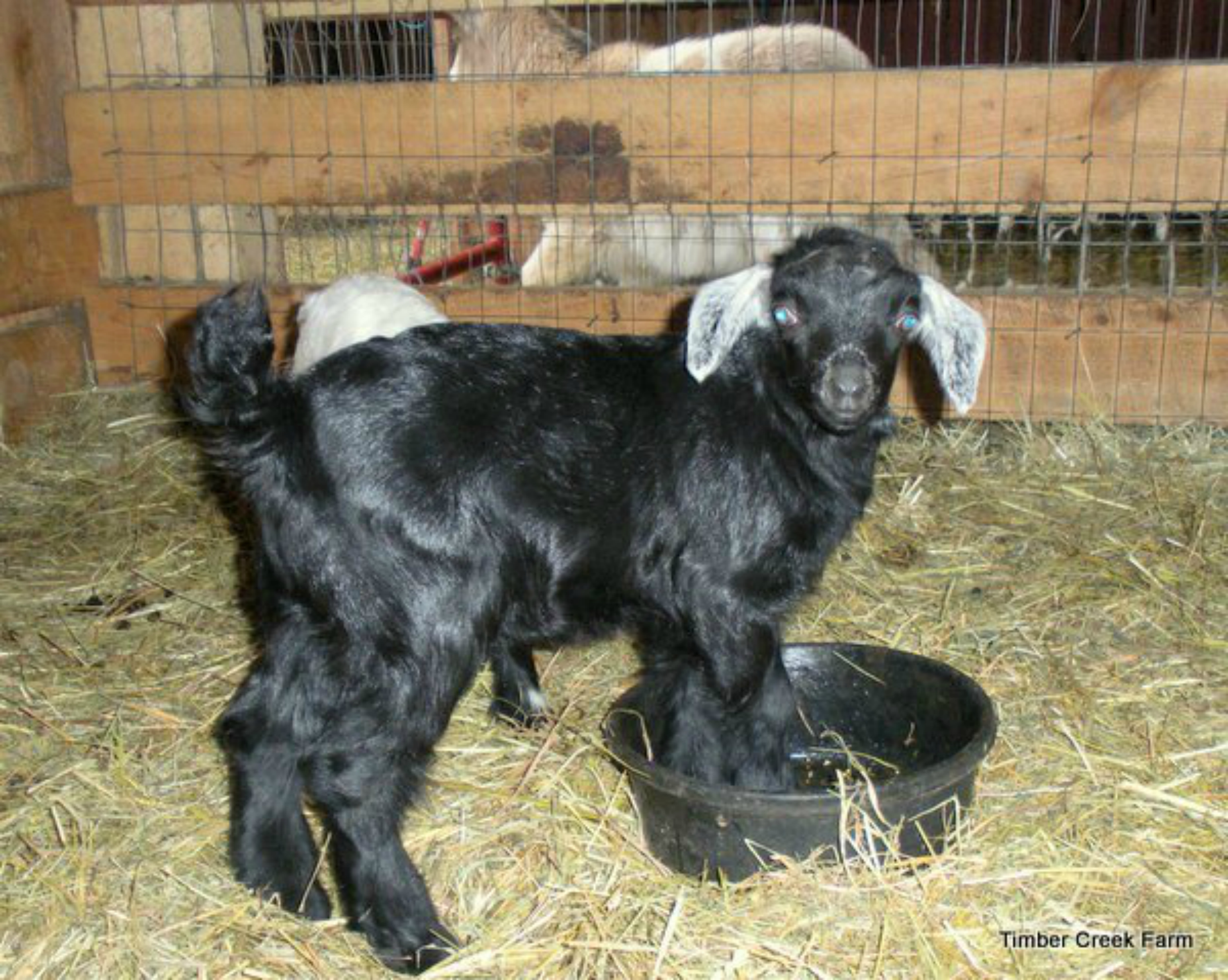 Caring for Rejected Kid Goats