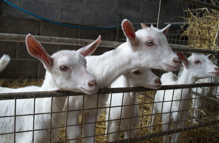 A Beginner's Guide to the Best Goats for Milk