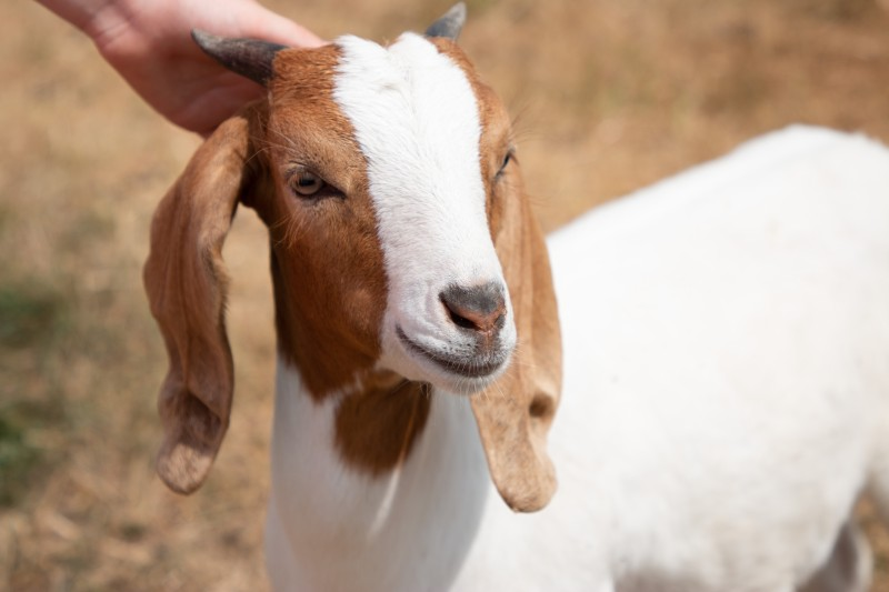 boer-goat-kid