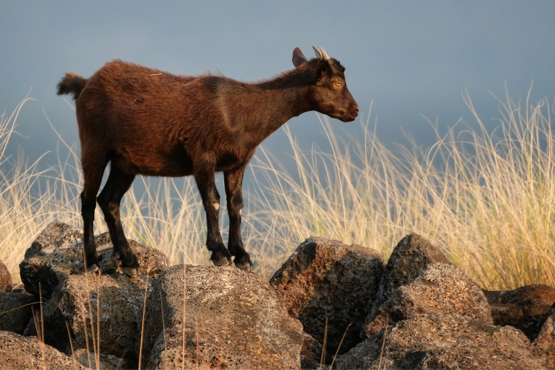 Breed Profile: Hawaiian Ibex Goats