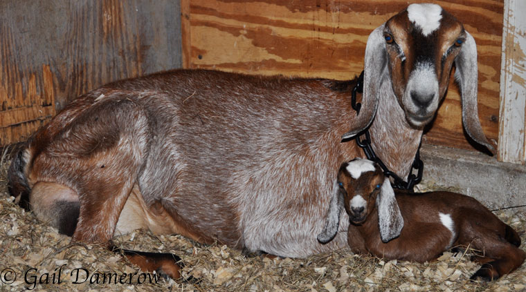 10 Ways To Recognize Goat Labor Signs - Backyard Goats