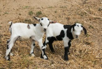 All About Nigerian Dwarf Goats