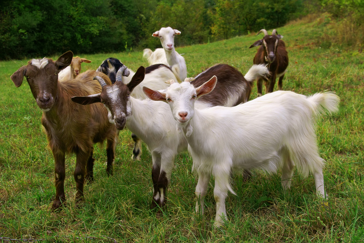 The Basics of Caring for Goats - Backyard Goats