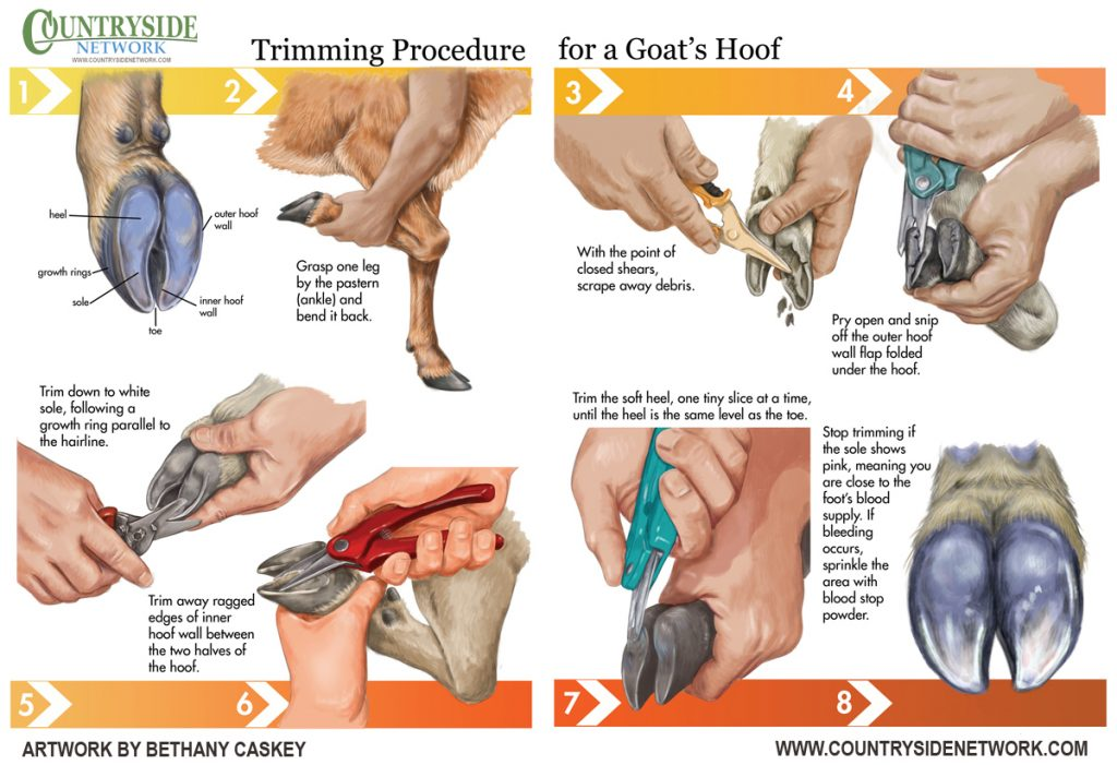 Goat Hoof Trimming