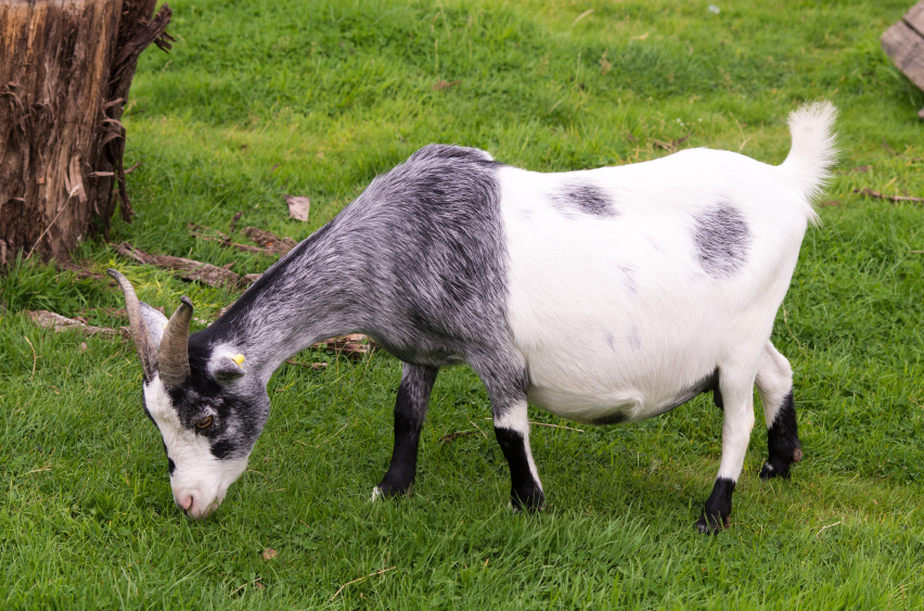 10 Ways to Identify Goat Pregnancy