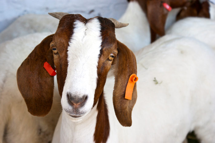 Getting Started with Meat Goat Farming - Backyard Goats