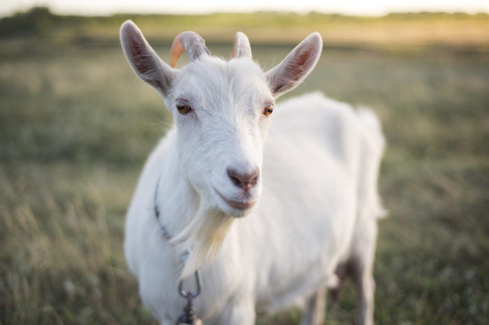 goat-breed