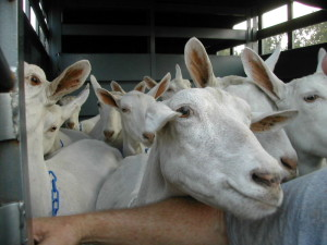 Saanen Goat Breed Spotlight