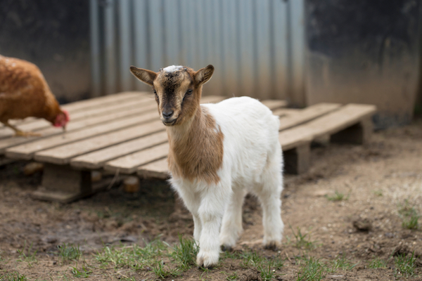 benefits-of-owning-a-goat