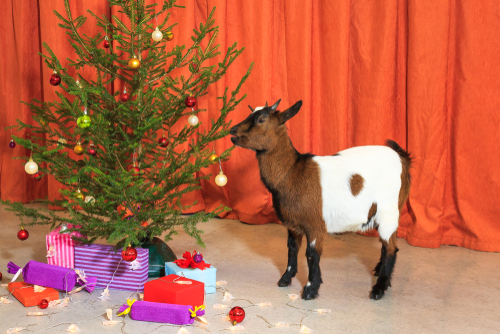 Can Goats Eat Christmas Trees  And More Questions About
