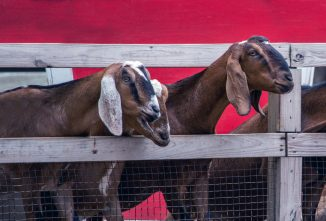 10 Amazing Benefits of Owning a Goat