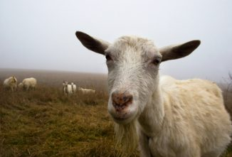pneumonia-in-goats