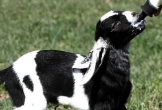 No Kidding: Baby Goats Need Colostrum