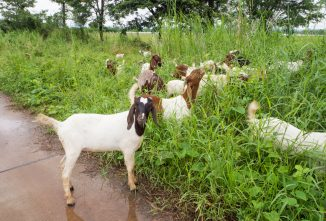 Can Goats Swim? Dealing with Goats in The Water