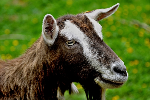 Toggenburg Goat Breed Spotlight