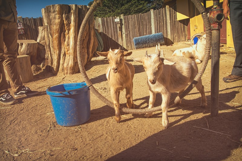 goat-training