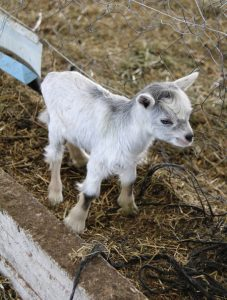 A Guide to Common Goat Ailments - Backyard Goats